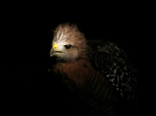 Red Tail Hawk Baby 2013